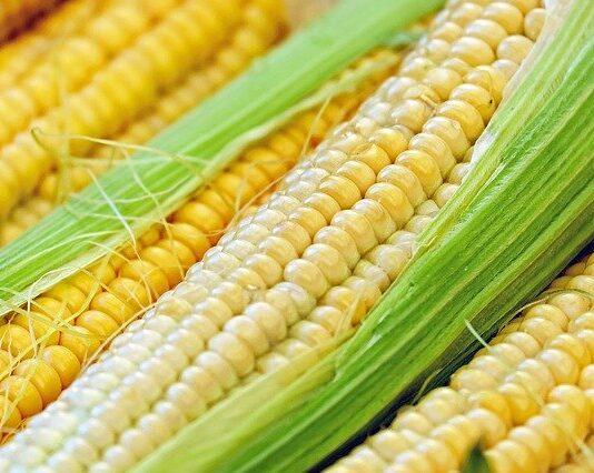 jaki nawóz pod kukurydze